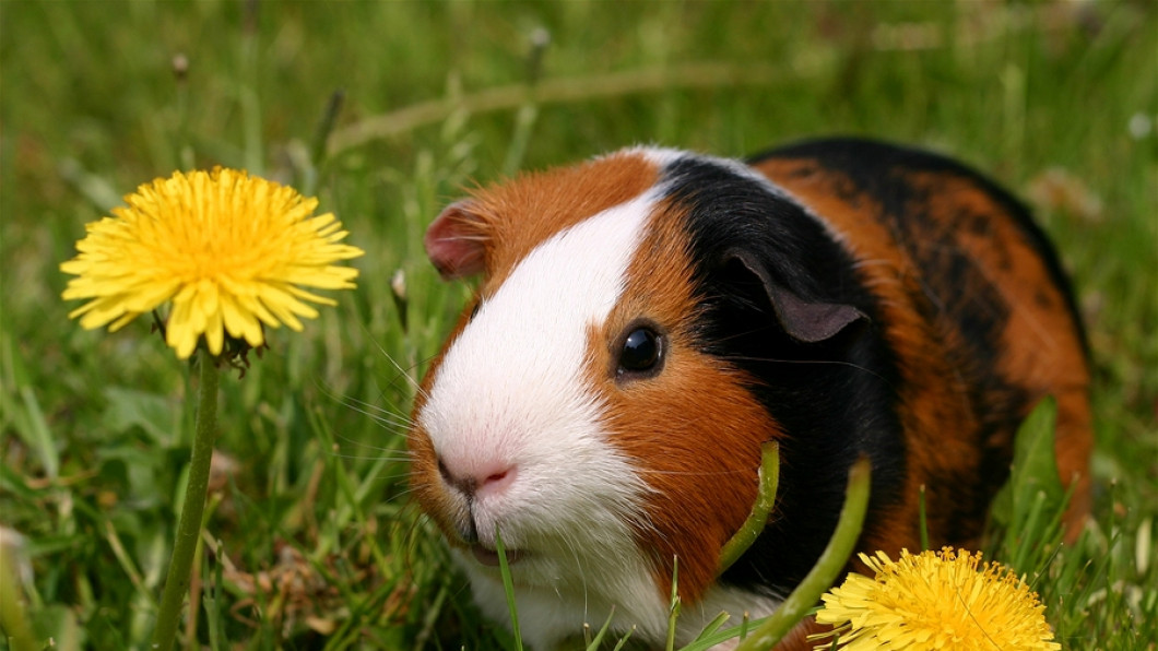 Rabbits, ferrets & guinea pigs - Fur and Feathers Veterinary Cares for them all!