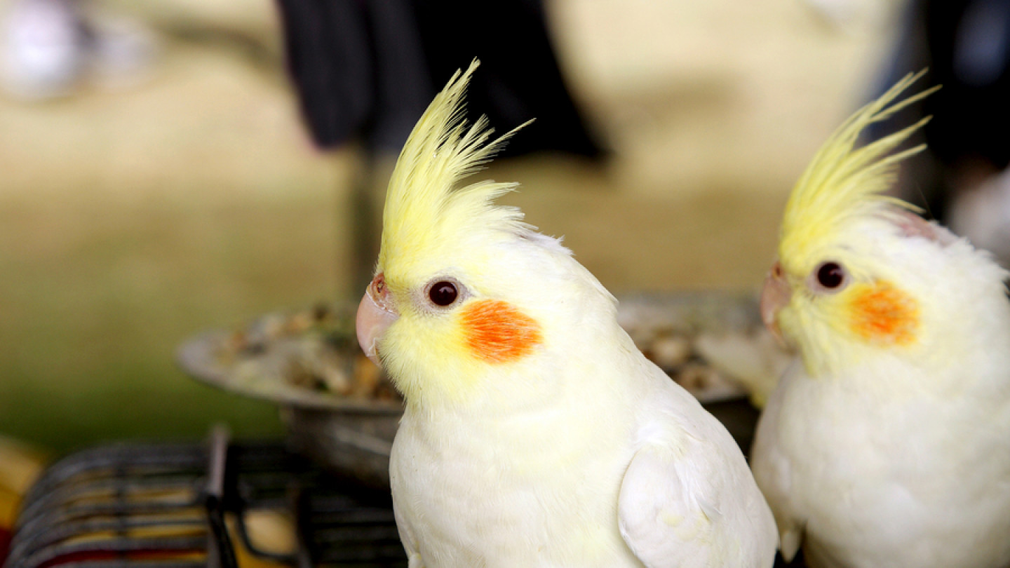 Pet Birds Are Wonderful Companions with Their Own Special Health Needs